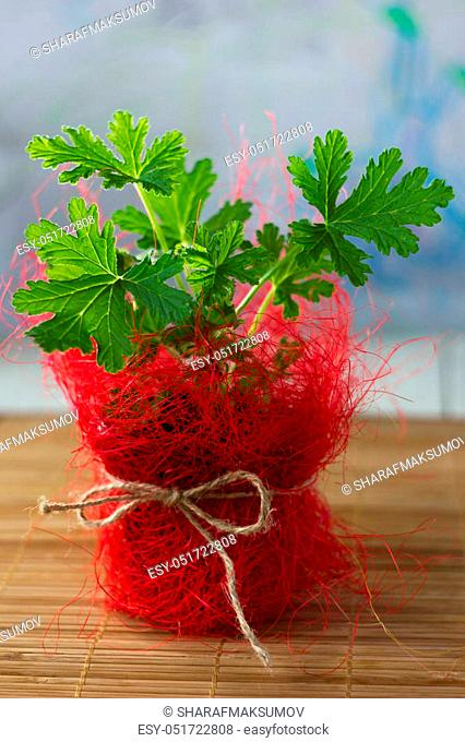 Pelargonium leaves. Lemon scented pelargonium - home plant in red flowerpot
