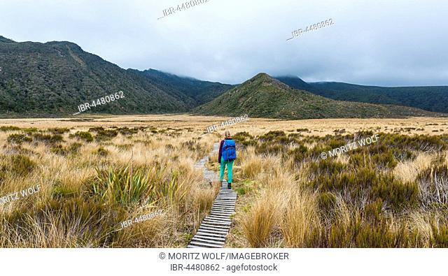 Hiker on trail through swampland, Pouakai Circuit, Egmont National Park, Taranaki, North Island, New Zealand