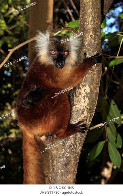 Black Lemur, Eulemur macaco, Nosy Komba, Madagascar, Africa, adult female with young on tree