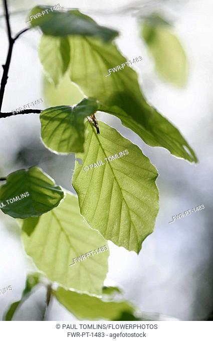Beech, Fagus sylvatica, Side view of small twig with soft spring leaves, and backlight showing veins