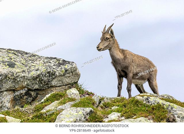 Alpine Ibex (Capra ibex), female standing on rock, Niederhorn, Bernese Oberland, Switzerland