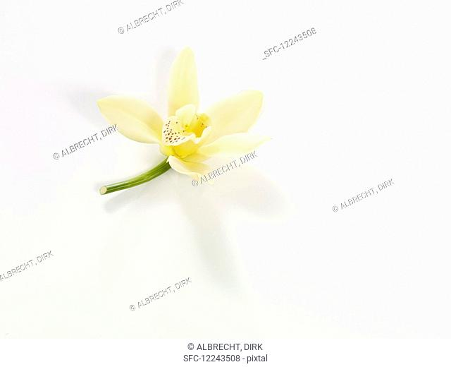 Vanilla blossom on a white background