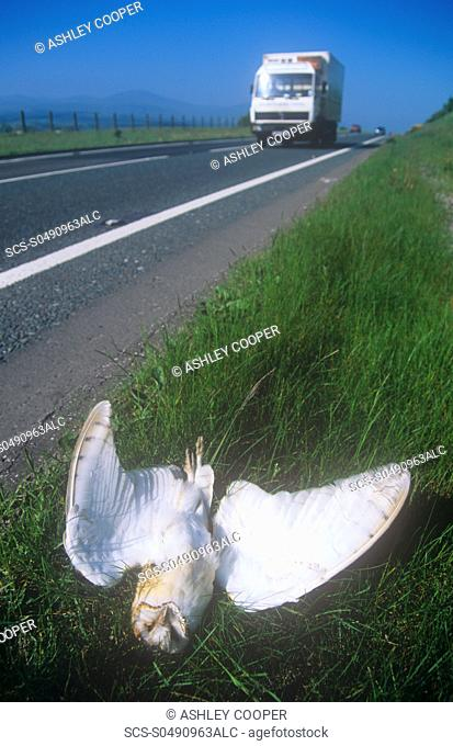 A Barn Owl killed by traffic on the A66 near Keswick, UK