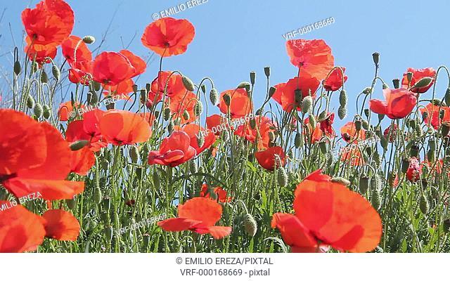 Poppies. Papaver rhoeas