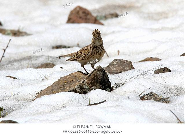 Skylark Alauda arvensis cantarella adult male, displaying, perched on rock in snowfield, Armenia, may