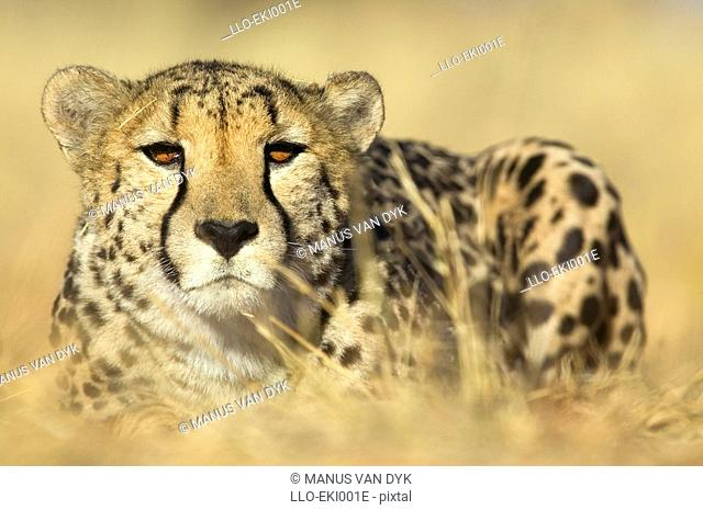 Cheetah Acinonyx jubatus in Hunting Mode Peering Through Long Savanah Grass  Kruger National Park, Limpopo Province, South Africa