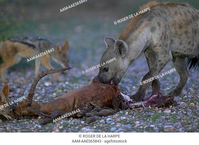 Spotted Hyaena (Crocuta crocuta) feeding on an Impala (Aepyceros melampus melampus) it has killed. A Blackbacked Jackal (Canis mesomelas) hopes for a morsel