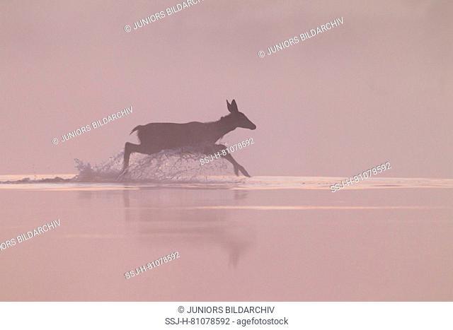 Red Deer (Cervus elaphus). Calf crossing a pond in first morning light. Germany