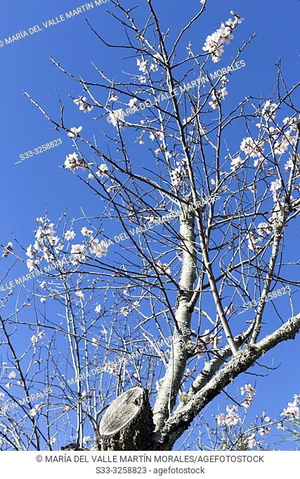 Almond trees in bloom in Cadalso de los Vidrios. Madrid. Spain. Europe