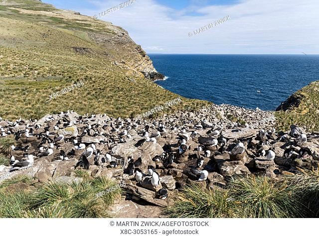 Black-browed albatross or black-browed mollymawk (Thalassarche melanophris), colony in typical Tussock Gras of the subantarctic islands