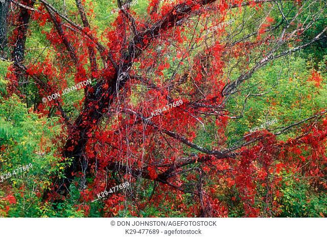 Virginia creeper (Parthenocissus quinquefolia) autumn foliage of creeper climbing black willow tree trunk. Sudbury. Ontario. Canada