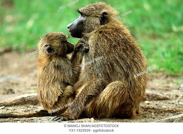 Baby and adult Baboons (Papio anubis), Lake Nakuru National Park, Kenya
