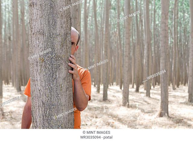Man peering from behind a poplar tree trunk on a commercial tree farm