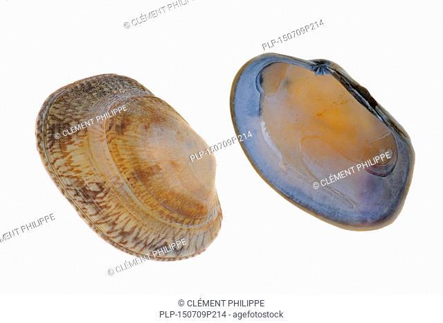 Pullet carpet shells (Venerupis senegalensis) on white background
