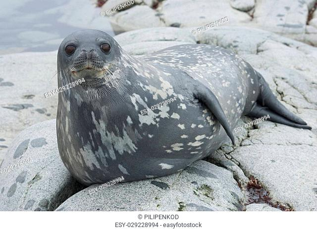 Weddell seals on the rocks of the Antarctic Islands