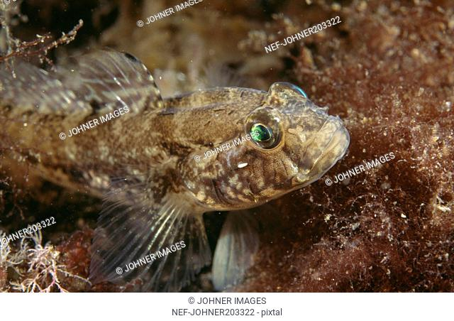 Goby in water