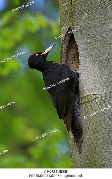 Black woodpecker, male, Dryocopus martius, Germany, Europe / Schwarzspecht, Männchen, Dryocopus martius, Deutschland, Europa