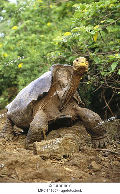 SADDLEBACK GIANT GALAPAGOS TORTOISE (Geochelone elepantopus hoodensis), MATURE MALE, ONE OF ONLY TWO USED FOR CAPTIVE BREEDING, CHARLES DARWIN RESEARCH STATION