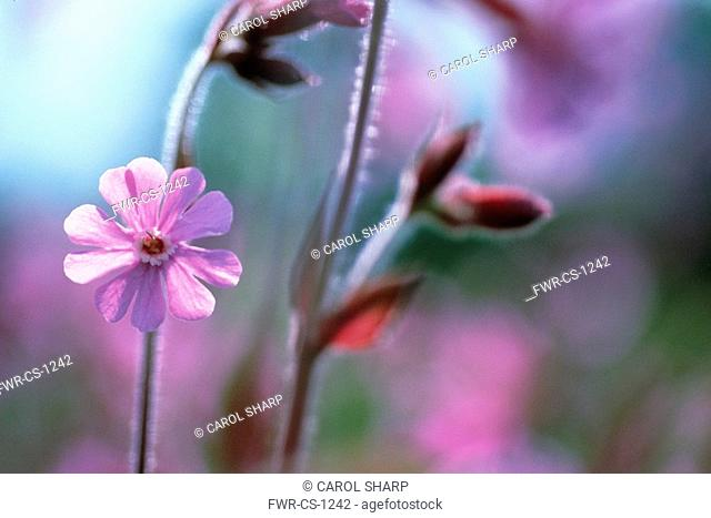 Silene dioica, Campion - red