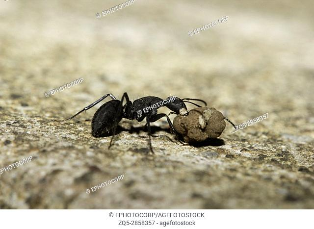 Ant, Aarey Milk Colony , INDIA