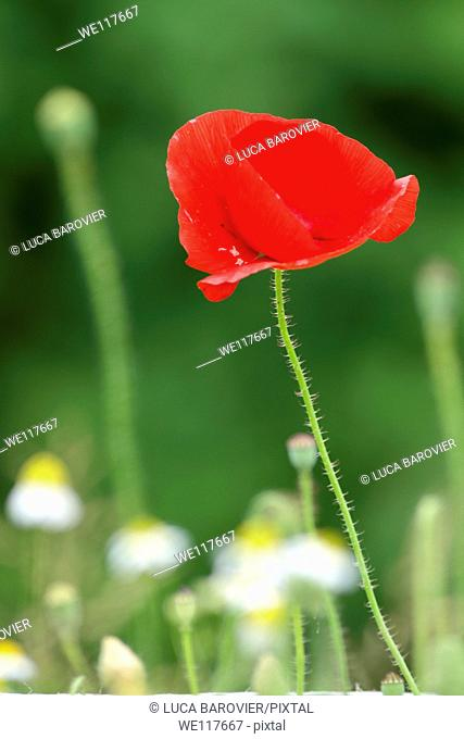 Poppy and daisies field