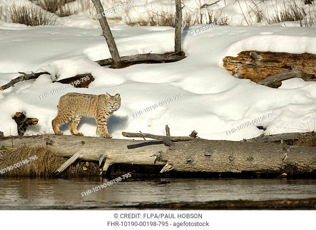 Bobcat (Lynx rufus) adult, walking on log at riverbank in snow, Yellowstone N.P., Wyoming, U.S.A., February