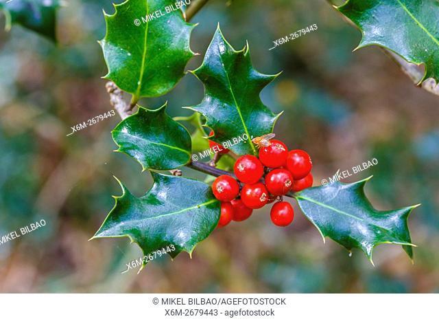 Common holly with fruits (Ilex aquifolium). Saja-Besaya Natural Park. Cabuerniga valley. Cantabria, Spain