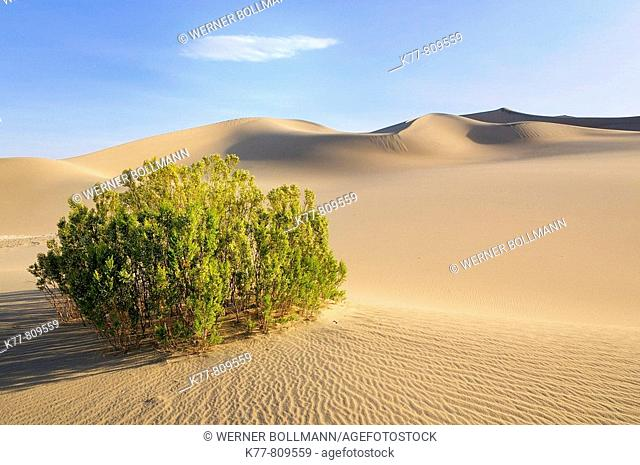 Dunes in the Death Valley and Creosote Bush (Larrea tridentata). Death Valley N.P., California, USA