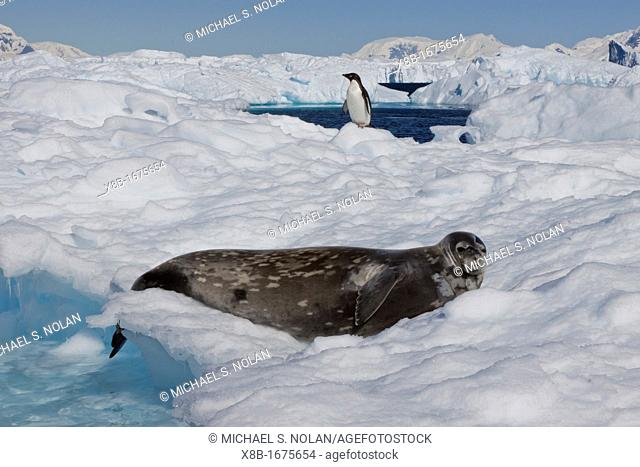 Weddell Seal Leptonychotes weddellii hauled out on ice near the Antarctic Peninsula, Southern Ocean