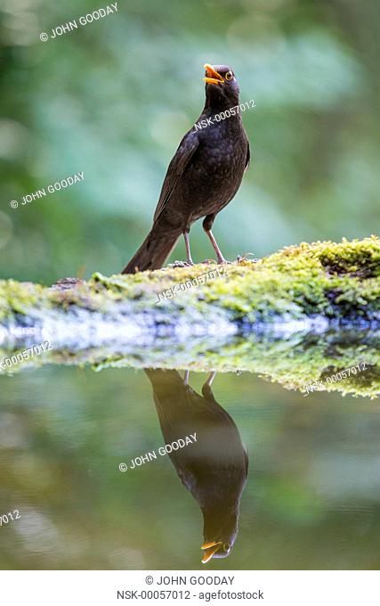 Adult male Common Blackbird (Turdus merula) singing at the edge of a forest pool, Hungary, Bacs-kiskun, Kiskunsagi National Park