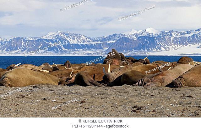 Large group of walruses (Odobenus rosmarus) resting on beach at Poolepynten in Prins Karls Forland, Svalbard / Spitsbergen in the Barents Sea