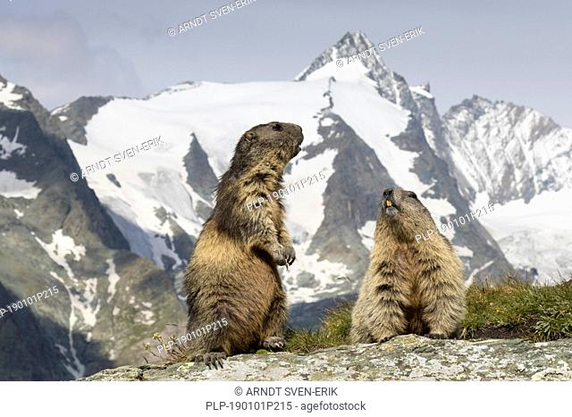 Alpine marmots (Marmota marmota) couple in front of the snow covered mountain Grossglockner, Hohe Tauern National Park, Carinthia, Austria