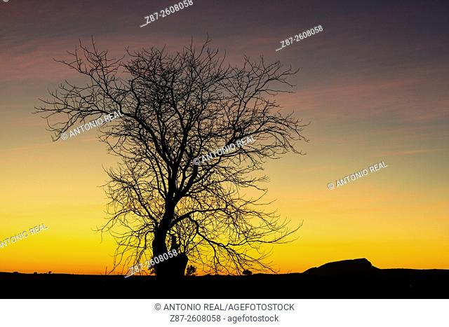 Tree silhouette at sunset, Almansa, Albacete province. Spain