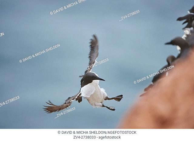 Close-up of common murre (Uria aalge) in spring (april) on Helgoland a small Island of northern Germany