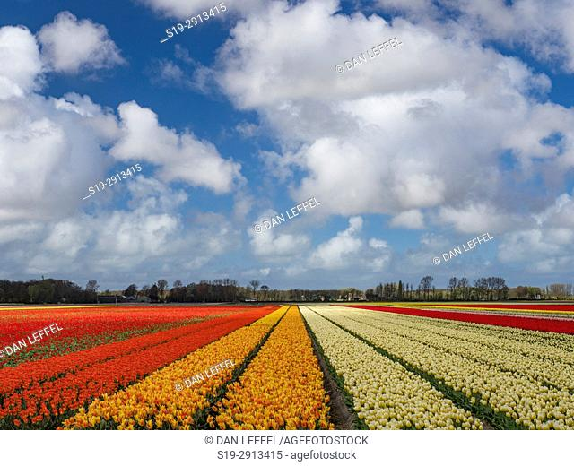 Holland Tulip Fields