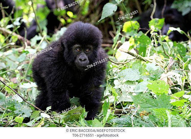 Young Mountain gorilla in forest (Gorilla beringei beringei) Virunga National Park, Democratic Republic of Congo, Africa