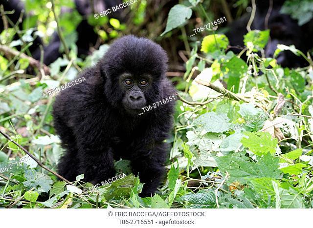 Young Mountain gorilla in forest (Gorilla beringei beringei) Virunga National Park, Democratic Republic of Congo, Africa