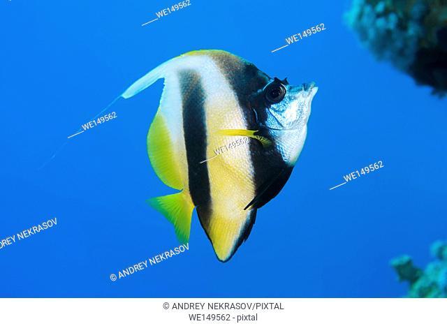 pennant coralfish, longfin bannerfish, reef bannerfish or coachman (Heniochus acuminatus) swims near coral reef, Red sea, Sharm El Sheikh, Sinai Peninsula
