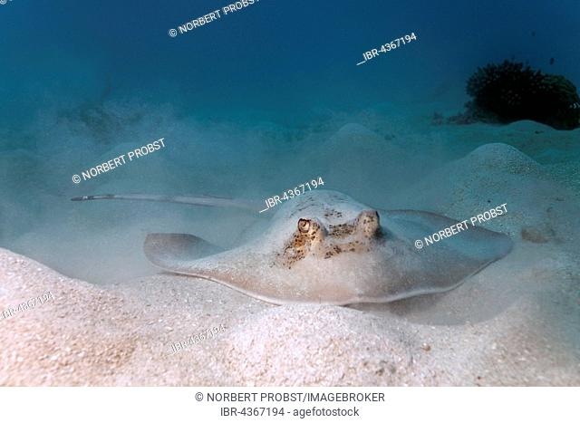 Grey stingray (maskray kuhlii) on sandy ground, Great Barrier Reef, Queensland, Cairns, Pacific Ocean, Australia