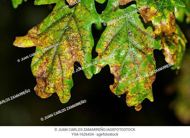 Quercus pyrenaica tree leaves during autumn, from green to wellow, Castro Laboreiro, Peneda Geres National Park, Melgaco, Braga, Minho, Portugal