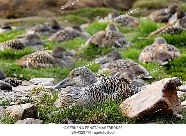 Eider (Somateria mollissima), brooding female in the grass, Longyearbyen, Spitsbergen, Svalbard, Norway