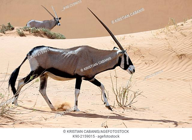 Oryx, Oryx gazella, in the sand dunes of Sossusvlei Valley, Namib-Naukluft Park, Namibia, Africa