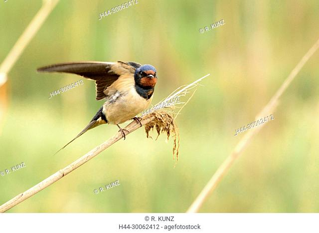 Barn Swallow, Hirundo rustica, Hirundinidae, Swallow, bird, animal , Delta of Ebro, Province of Tarragona, Catalonia, Spain