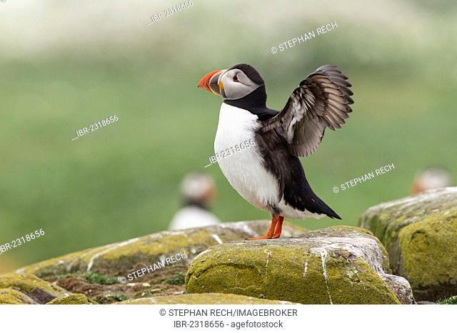 Atlantic puffin (Fratercula arctica), Farne Islands, Northumberland, England, United Kingdom, Europe
