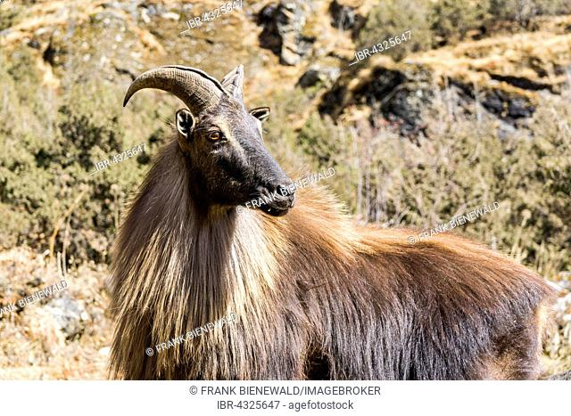 Himalayan tahr (Hemitragus jemlahicus), a big montain goat, is standing on the slope of a hill, Thame, Solo Khumbu, Nepal