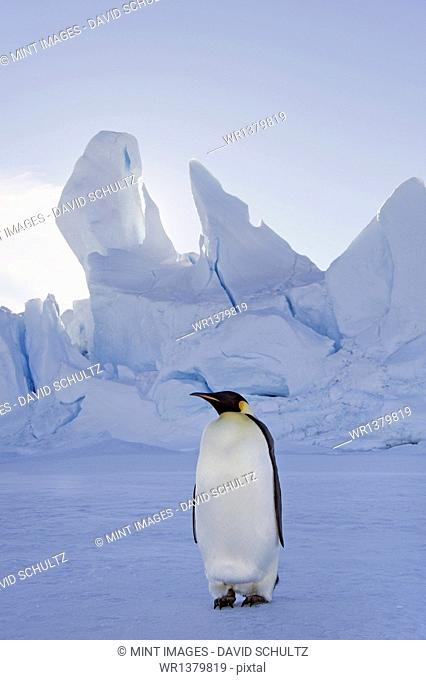 An adult Emperor penguin standing on the ice in shadow, with head turned sideways, on Snow Hill island in the Weddell Sea