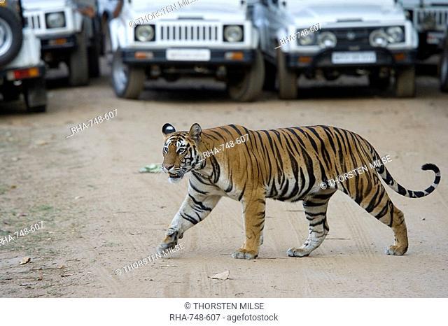 Female Indian tiger Bengal tiger Panthera tigris tigris, Bandhavgarh National Park, Madhya Pradesh state, India, Asia