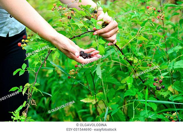 Woman reaps a crop of a blackberries in the garden