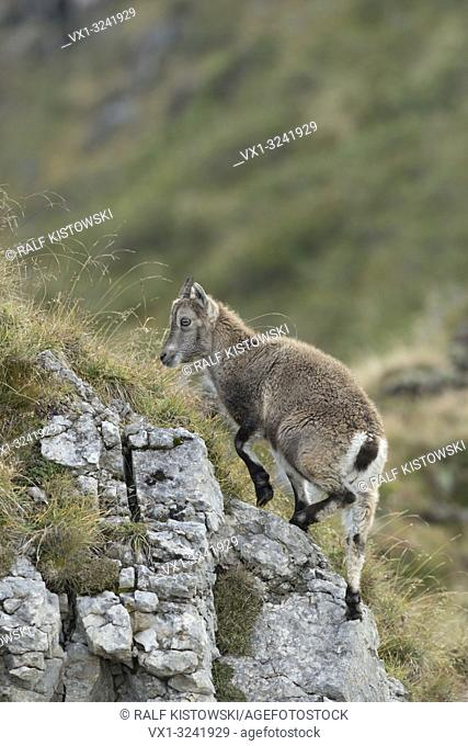 Young Alpine Ibex / Steinbock (Capra ibex) climbing up some rocks in the Swiss Alps