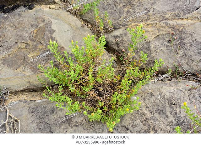 Te de roca (Jasonia glutinosa, Jasonia saxatilis or Chiliadenus glutinosus) is a medicinal perennial herb native to eastern Spain